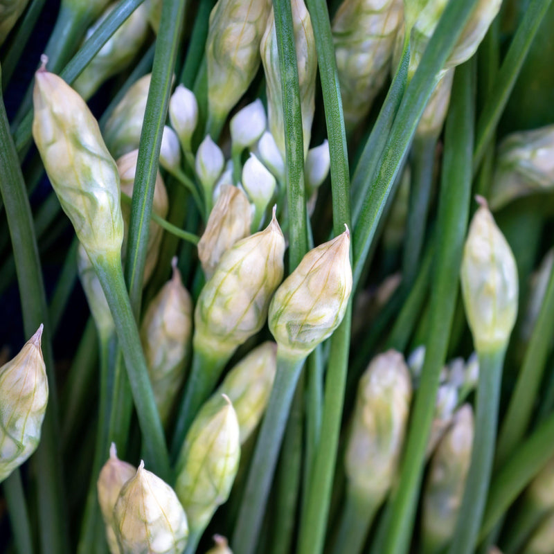 Allium Tuberosum (Edible Garlic Chives)