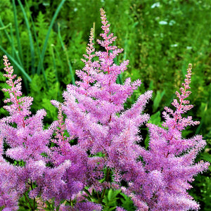 products/sqAstilbe_Amethyst.SHUT.jpg