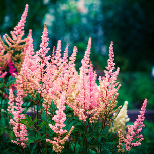 products/sqAstilbe_Peach_Blossom.SHUT_2.jpg