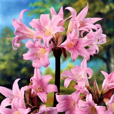 Perfect Blushing Belladonna Lily Bulbs For Sale Online Pink