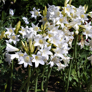 Clustering Blooms of Trio Belladonna Lily White