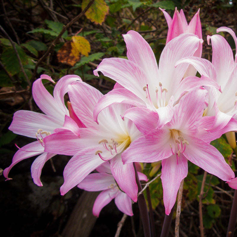 Multiple Blooms of Belladonna Lily Pink Hybrids - Exclusive