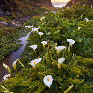 Calla Lily Aethiopica White Giant