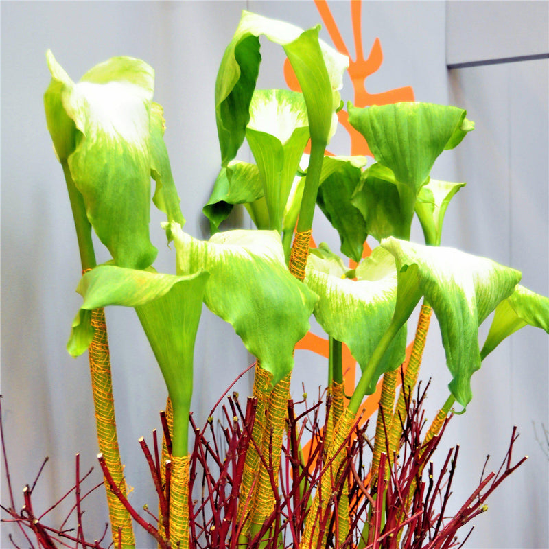 Calla Lily Green Goddess Blooms