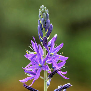Camassia Esculenta (Indian Hyacinth)