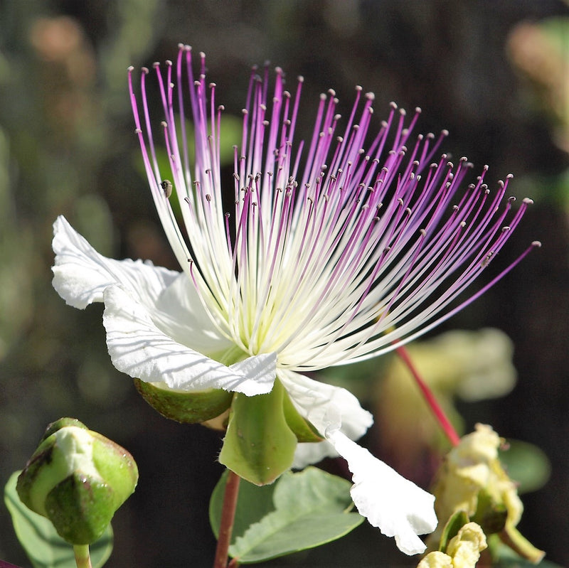 Pink and purple Caper bush flower