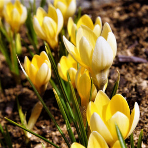 Yellow Planted Crocus Chrysanthus Cream Beauty Flowers