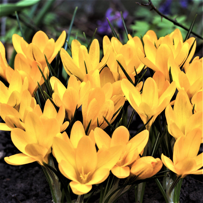 Field of Crocus Vernus Golden Yellow