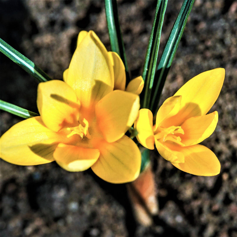 Close up on golden yellow crocus