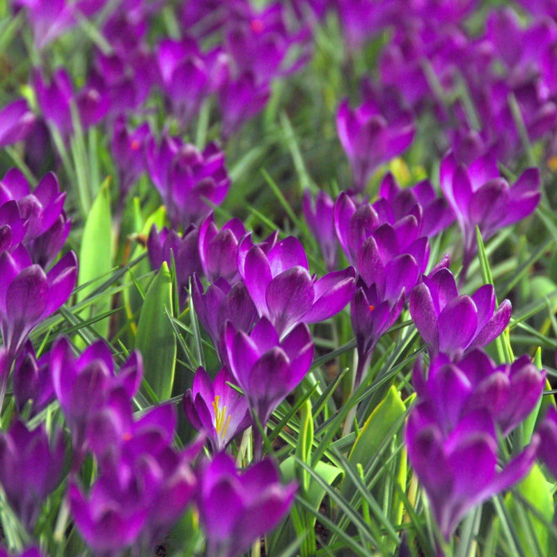 Large field of crocus vernus flower record
