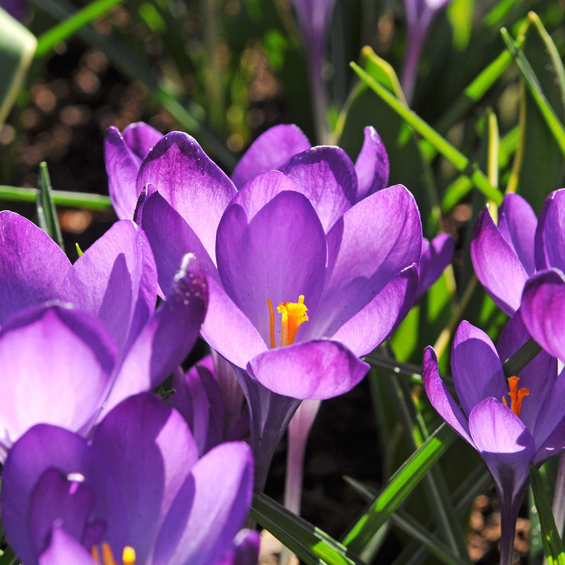 close up on crocus vernus flower record