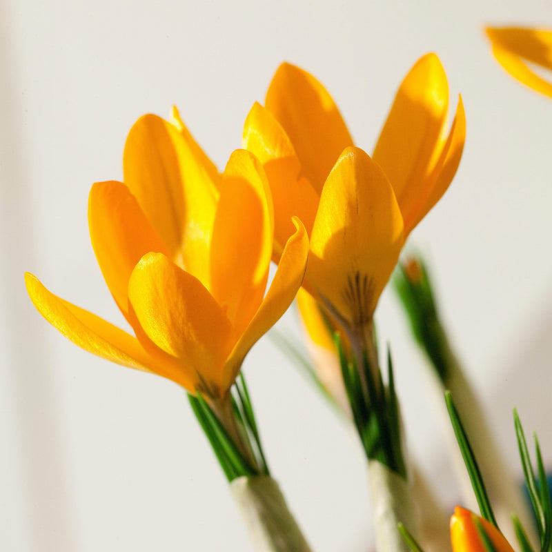 Close up on two crocus vernus golden yellow