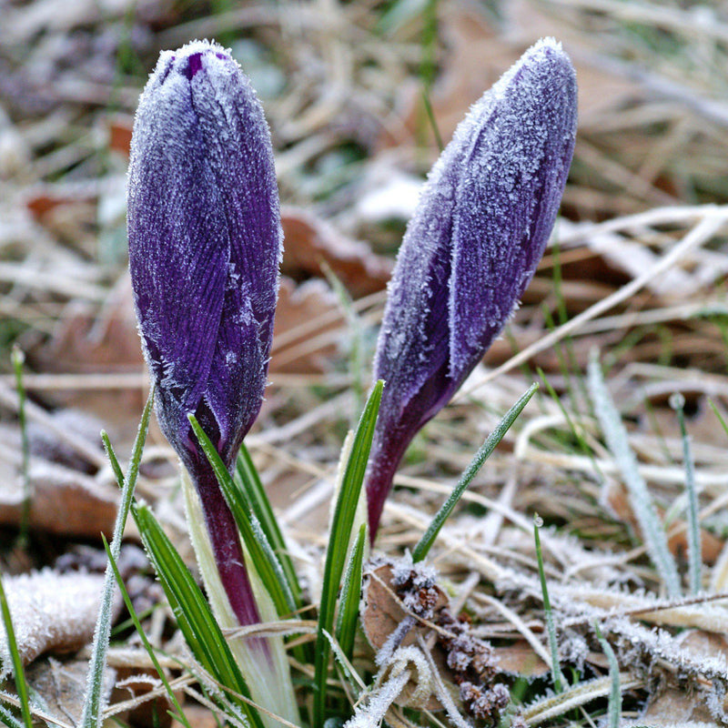 Crocus vernus flower record in frost