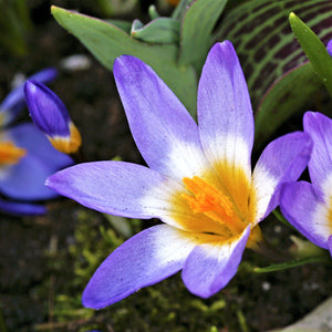 SIngle Crocus Tri color