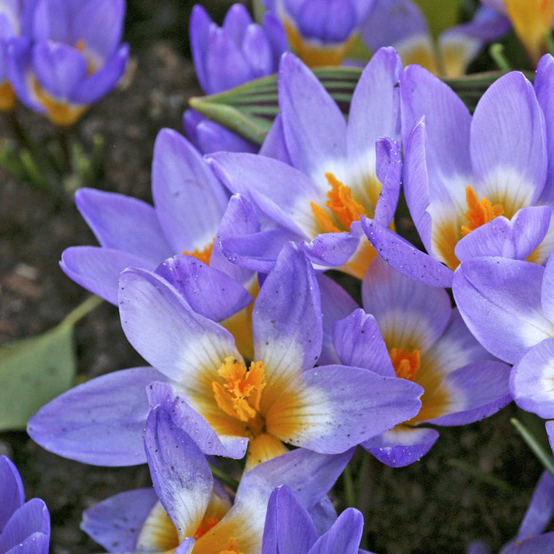 Crocus Tri Color