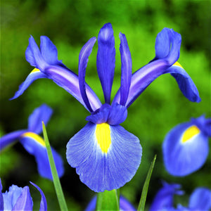 Dutch Iris Blue Diamond Flowers