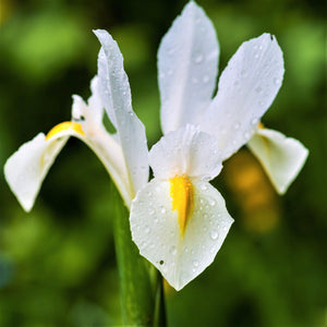 White Dutch Iris Casablanca with dew on it
