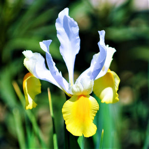 Blue and Yellow Dutch Iris Oriental Beauty