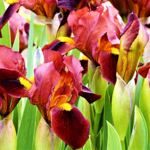 Dutch Iris Red Embers Flowers