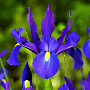 Dutch Iris Telstar