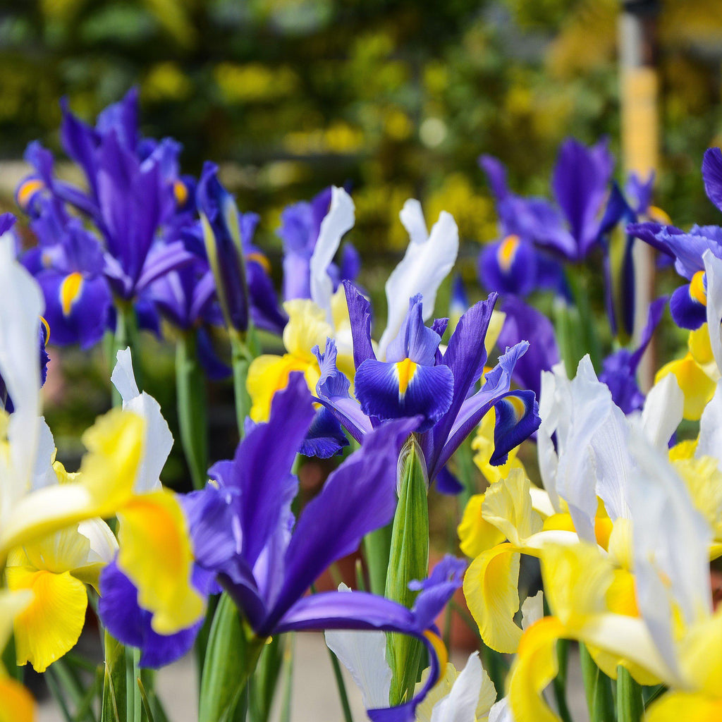 Dutch Iris Bulbs For Sale Online Easy To Grow Bulbs