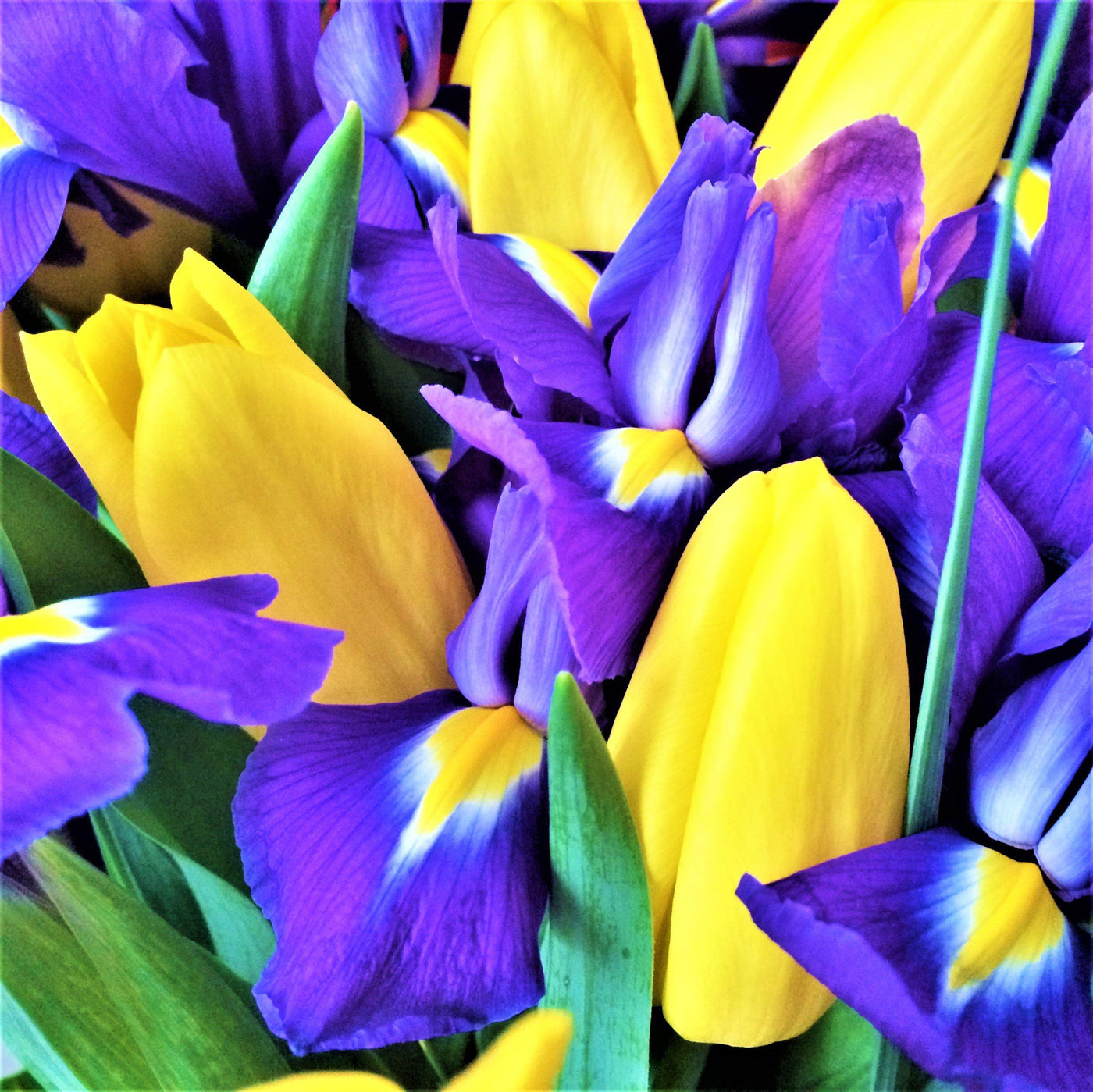 Yellow tulip and blue dutch iris flower bulbs collection easy to imperial bouquet tulip and dutch iris blend izmirmasajfo