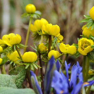 Winter Aconite (Eranthis)