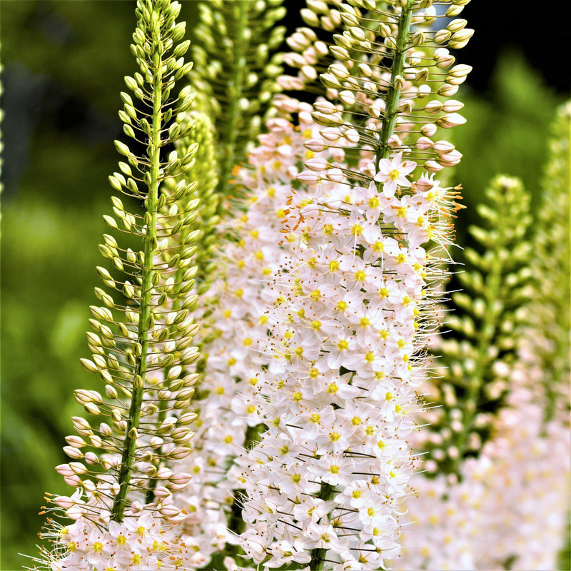 Eremurus Shelford Hybrid Mix (Foxtail Lily, Desert Candle)