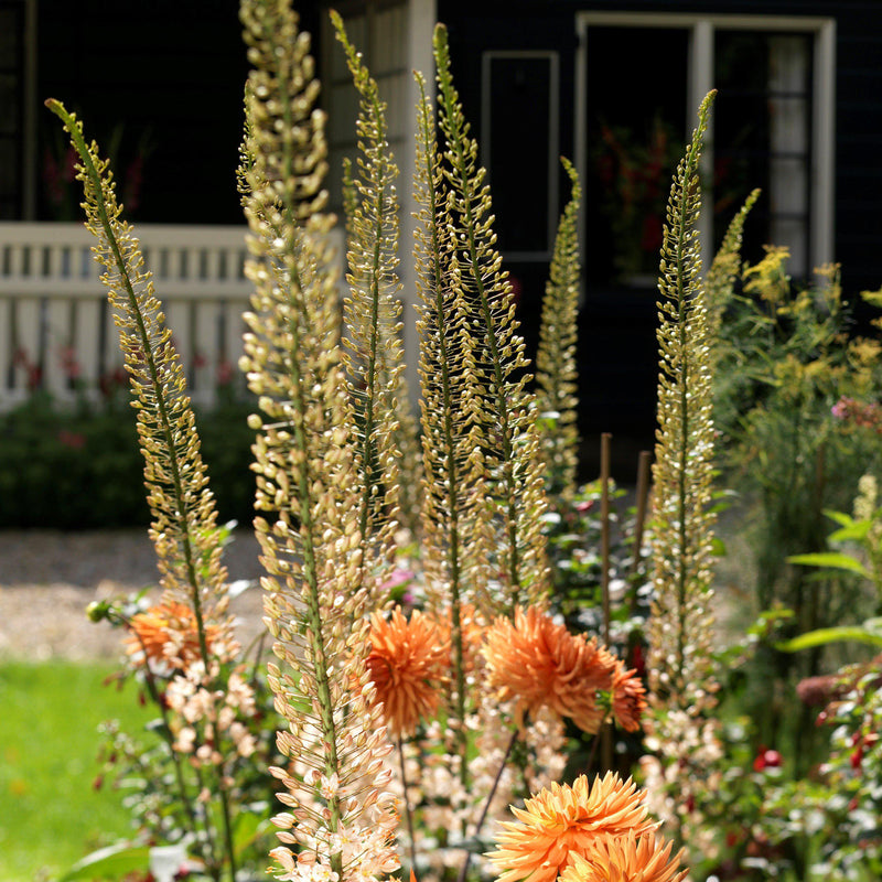 Blooming Peach Eremurus