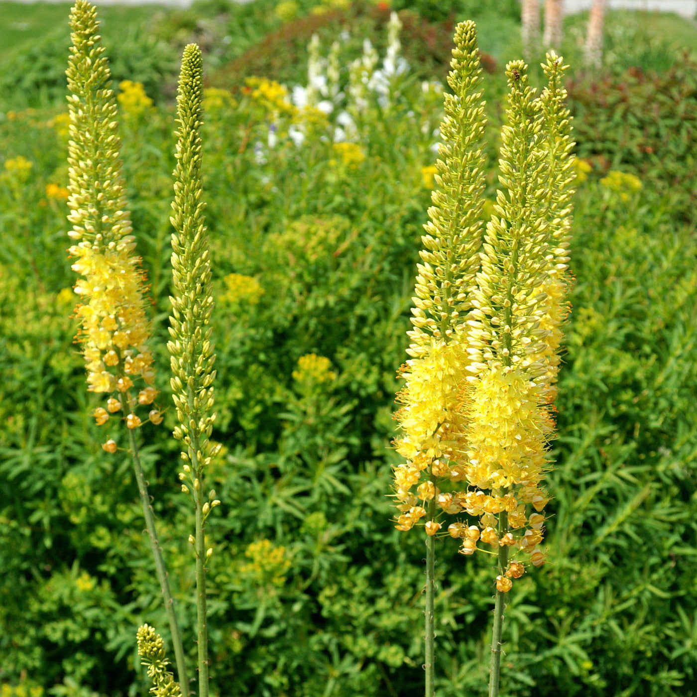 Eremurus Stenophylus Bungei Foxtail Lily Desert Candle Easy To