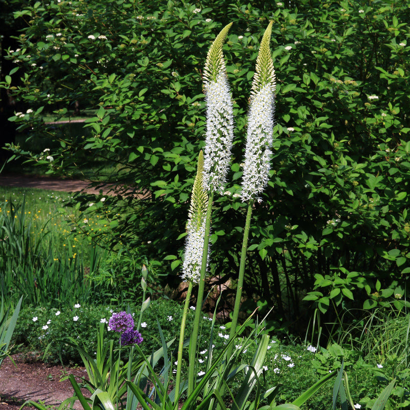 Blooming White Eremurus Foxtail Lily