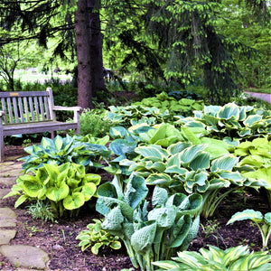 Hosta foliage mix