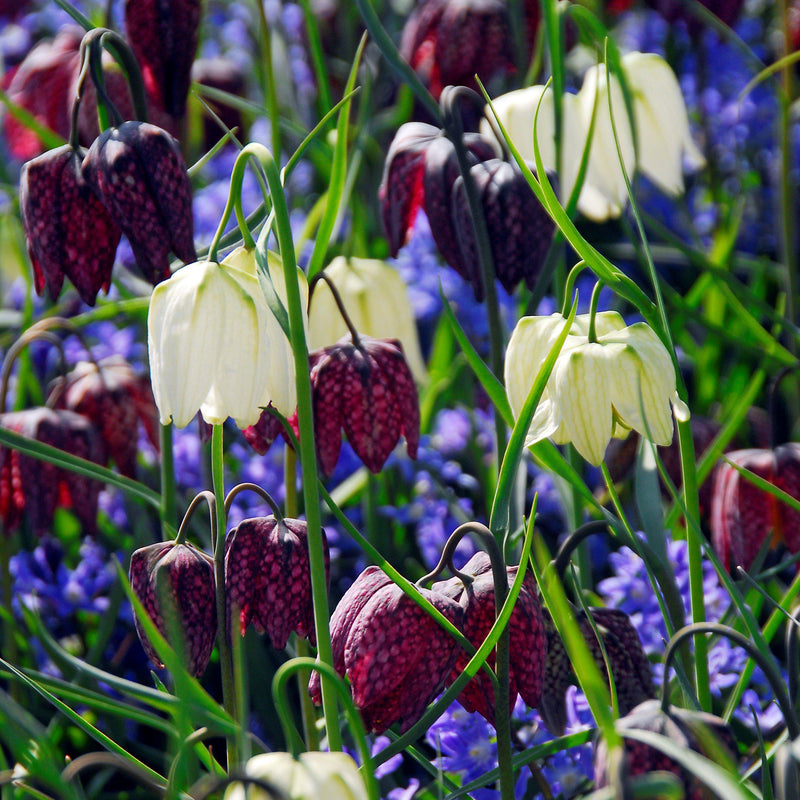 Fritillaria Checkmate Mix