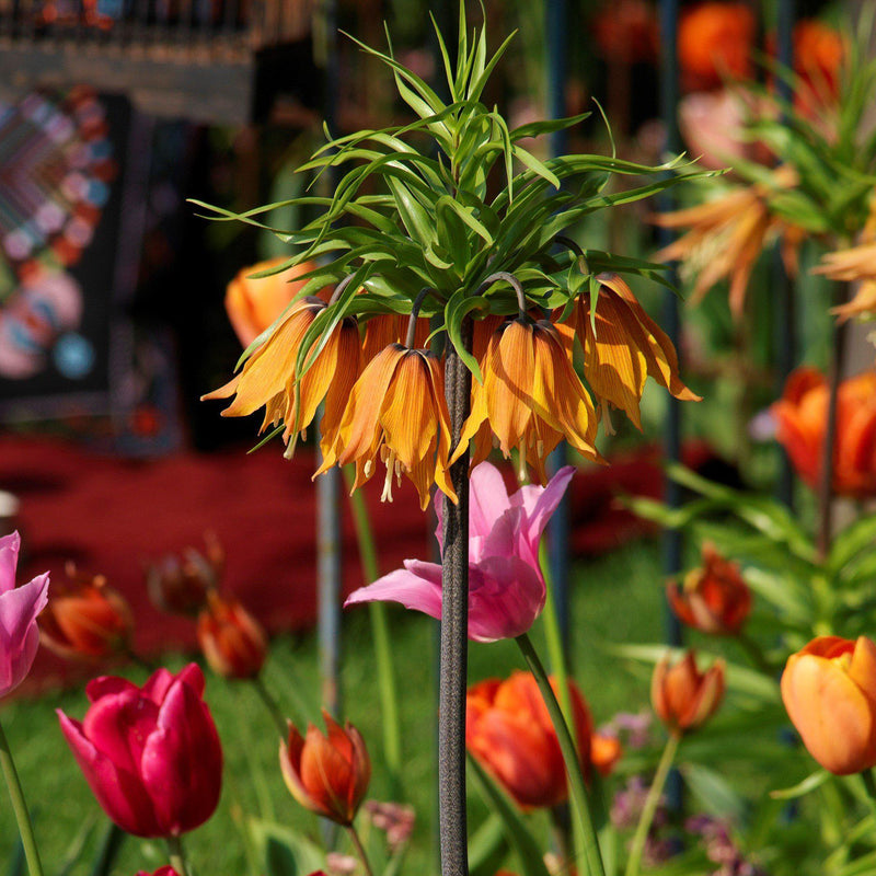 Fritillaria Crown Imperial Aurora