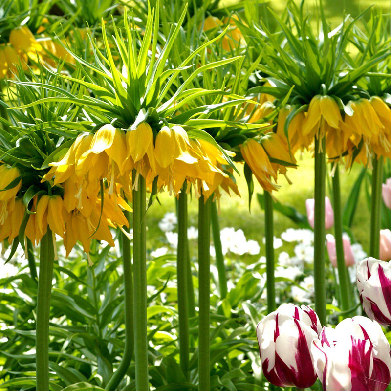 Fritillaria Crown Imperial Yellow