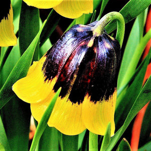 products/sqFritillaria_Michailovskii.SHUT_1.jpg