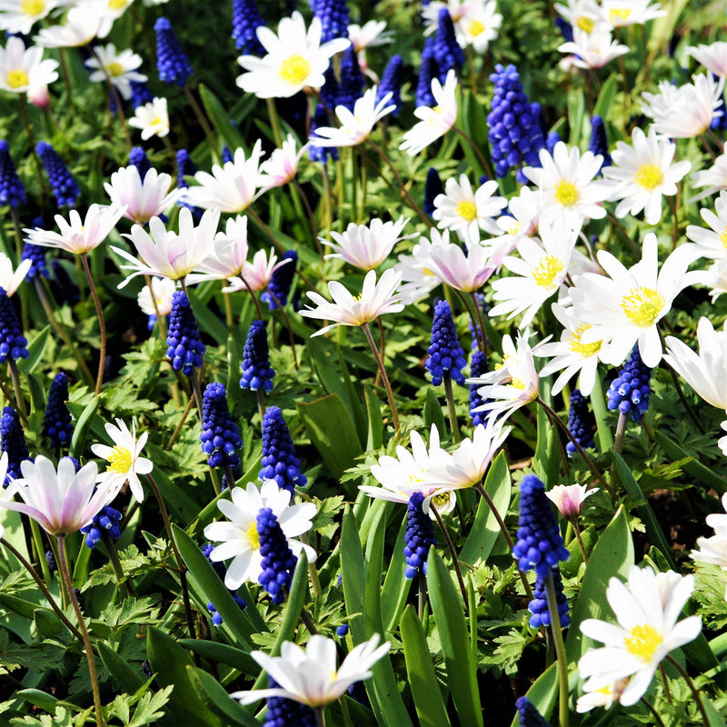 Blue Grape Hyacinth and White Windflower Mix