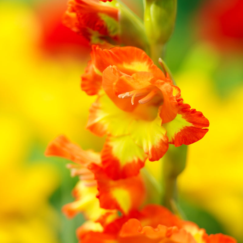 Dwarf yellow and orange gladiolus