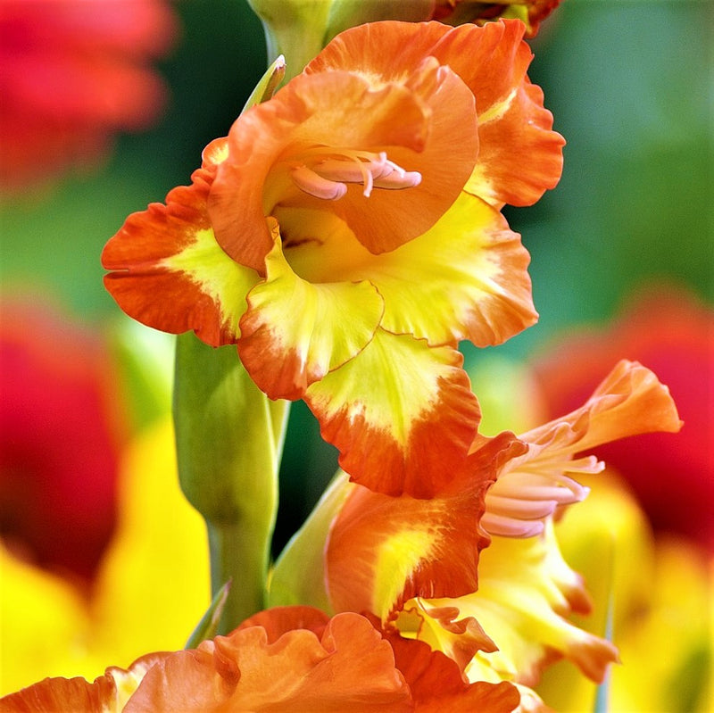 Orange and yellow gladiolus Las Vegas