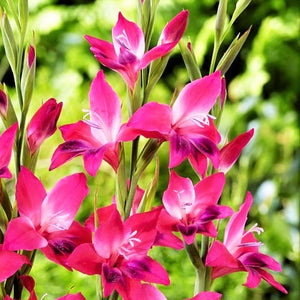 Hardy Pink Gladiolus Volcano Flowers