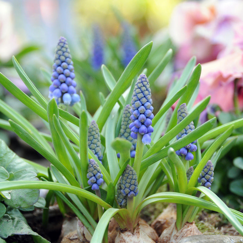 Grape Hyacinth Blue 'Armeniacum'