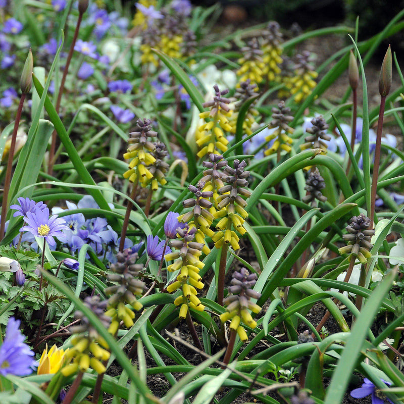Grape Hyacinth Golden Fragrance