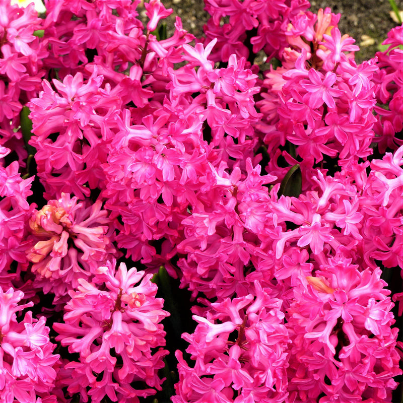 Red Hyacinth for sale online