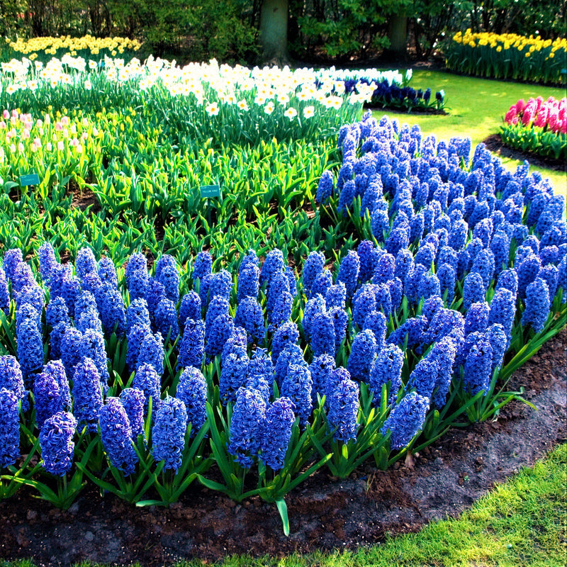 Purple and blue hyacinth flowers