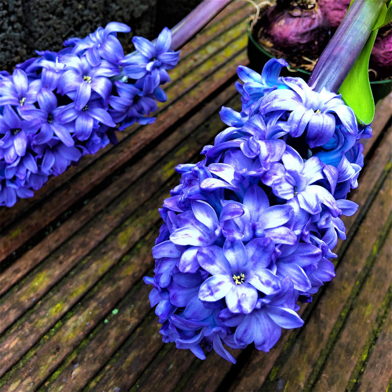 Hyacinth Blue Jacket Cut Flowers