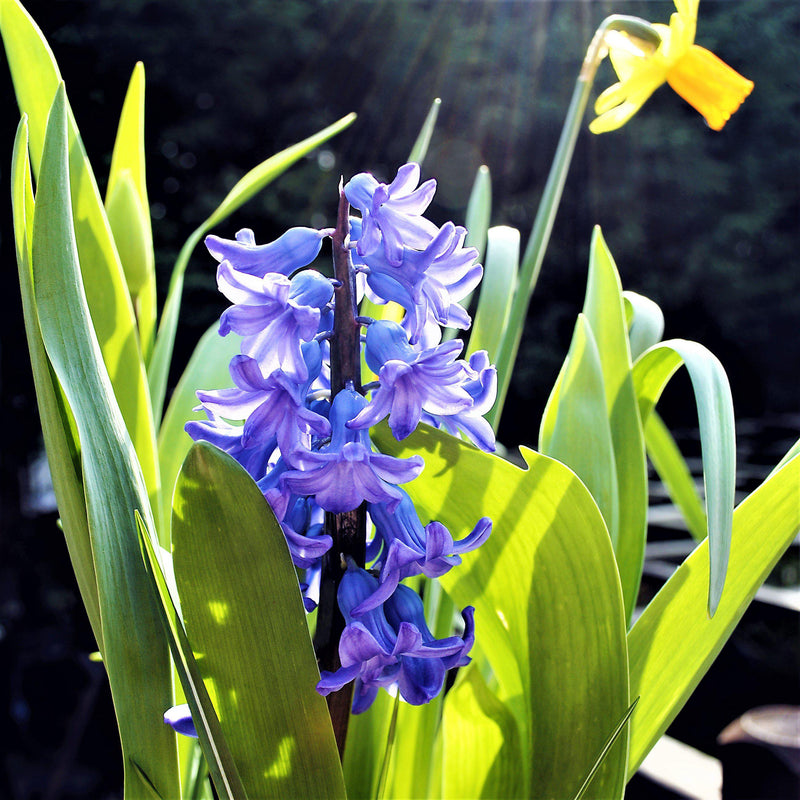 Blue Hyacinth Bulbs for Sale