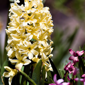 Yellow Hyacinth Flowers