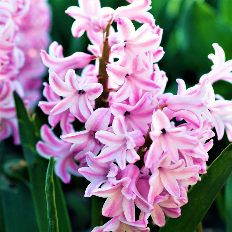 Pink and White Hyacinth Flowers