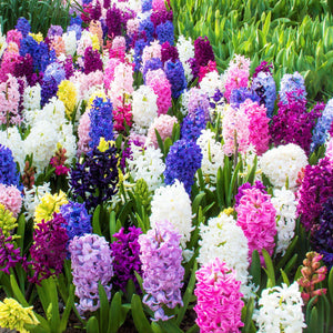 Colorful Hyacinth Bulb Mix Flowers