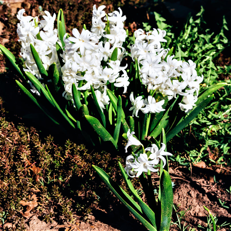 White Hyacinth Blooms
